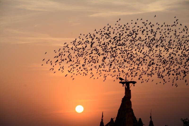 FLOCKING BEHAVIOR IN STARLING BIRDS BIKANER. FLOCKING BEHAVIOR IN BIRDS Flocking behavior is the behavior exhibited when a group of birds, called a flock, are stock photos