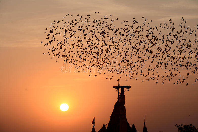 Flocking behavior of Starlings Birds in Bikaner. Flocking behavior is the behavior exhibited when a group of birds, called a flock, are foraging or in flight royalty free stock photo
