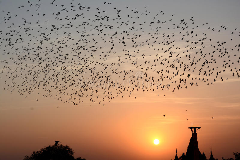 Flocking behavior of Starlings Birds in Bikaner. Flocking behavior is the behavior exhibited when a group of birds, called a flock, are foraging or in flight royalty free stock images