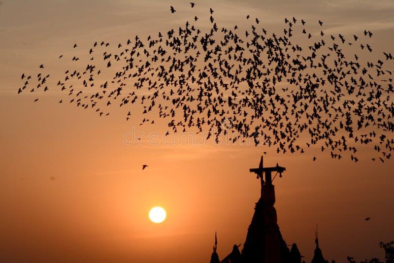 Flocking behavior of Starlings Birds in Bikaner royalty free stock photo