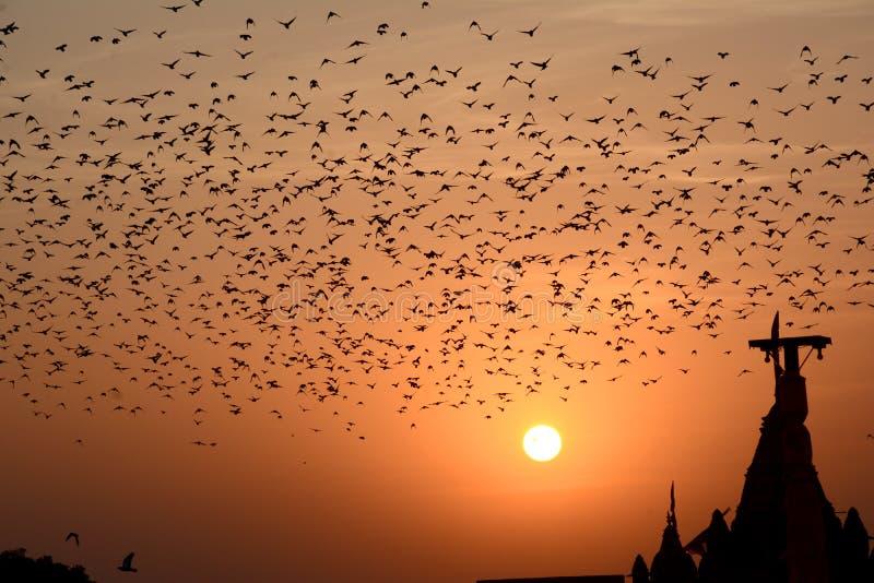 Flocking behavior of Starlings Birds in Bikaner stock images