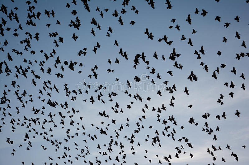 Flocking behavior of Starlings Birds in Bikaner royalty free stock photo