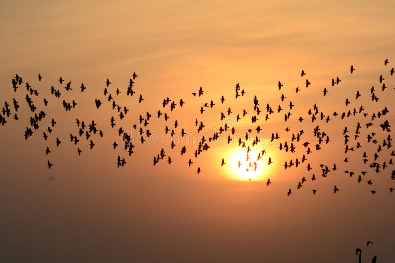FLOCKING BIRDS IN EVENING SKY BIKANER rajasthan stock image