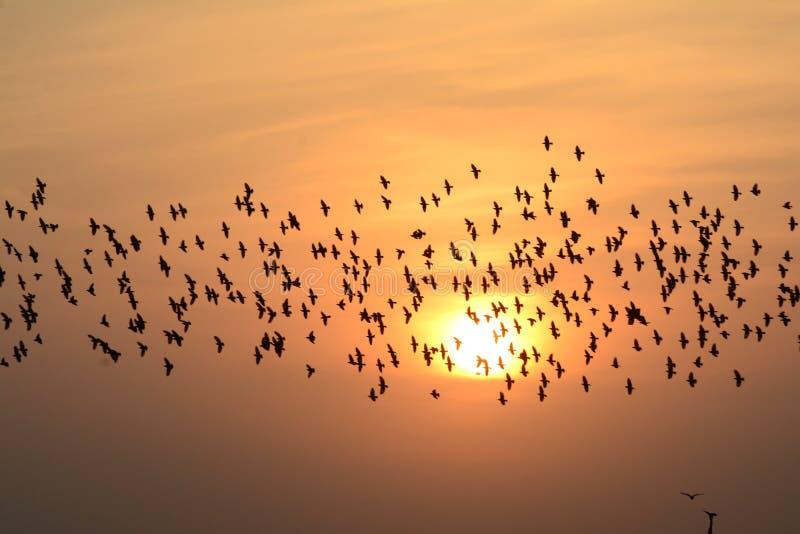 FLOCKING BIRDS IN EVENING SKY BIKANER rajasthan stock images