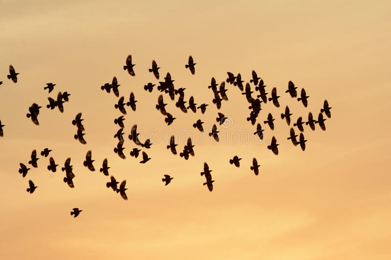 FLOCKING BIRDS IN EVENING SKY BIKANER stock images