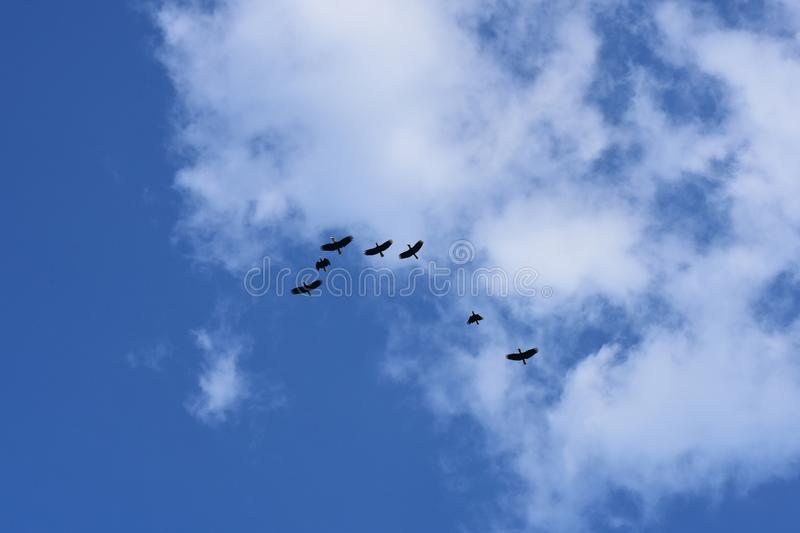 A flocking of Plain-pouched hornbill, Aceros subruficollis, Thailand royalty free stock photography