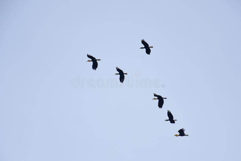 A flocking of Plain-pouched hornbill, Aceros subruficollis, Thailand stock photos