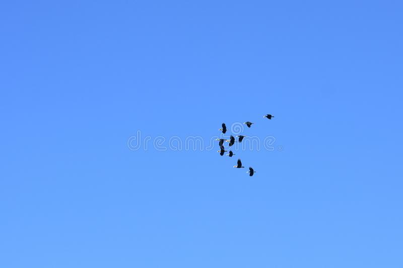 A flocking of Plain-pouched hornbill, Aceros subruficollis, Thailand stock photography
