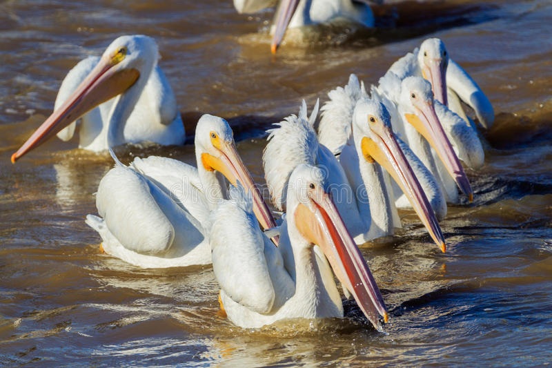 Flocking to dinner. A group of American White Pelicans swimming in the water while fishing for food on the Arkansas River near White River Wildlife Refuge stock photography