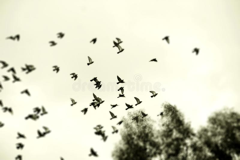 Flocking Together into Forever. Pigeons dove birds flying in a flock with a faint yellow sky background. Tree tops and beyond stock image