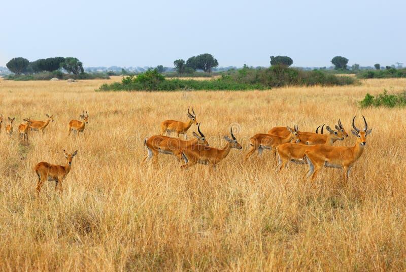 flockkobrace uganda royaltyfri fotografi