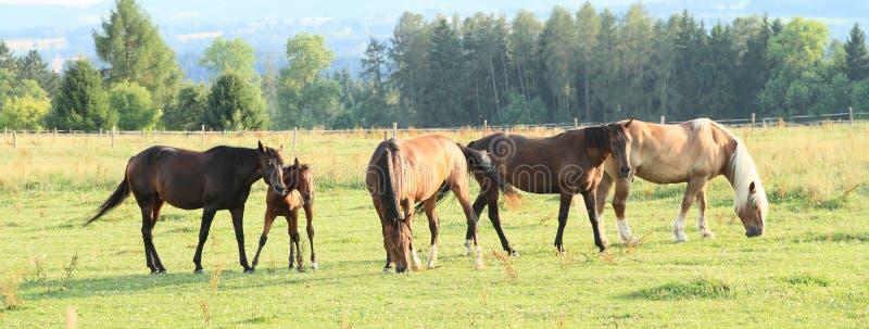Flockod-hästar royaltyfri bild