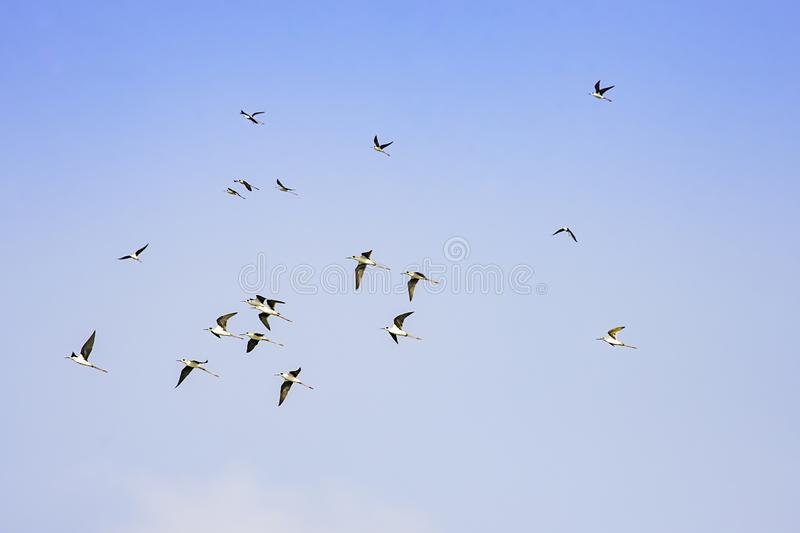 Flocks of birds flying in the sky royalty free stock photo