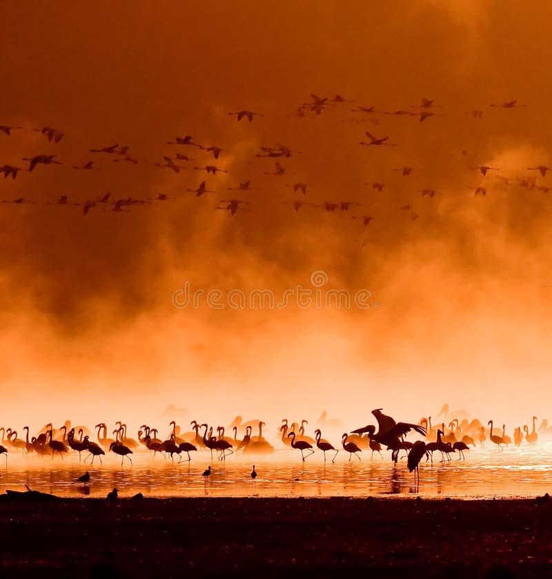 Flocks of flamingos in the sunrise stock images