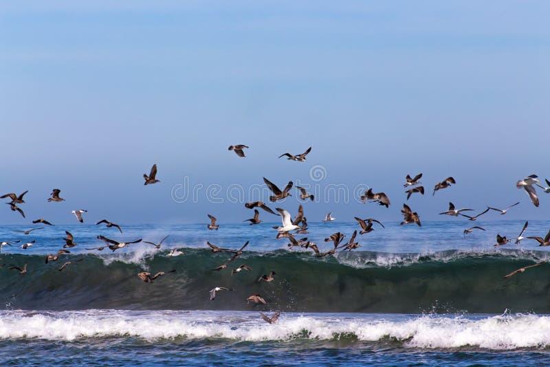 Flocks of Ocean Sea Birds Feeding. At Salinas State Beach near Moss Landing, California royalty free stock photo