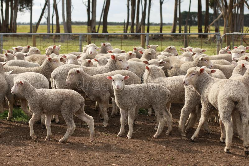 Flocks of young unshorn lambs seperated, in the sheep yards, from their parents, out the front of the shearing sheds waiting to be. Shorn, on a small family stock photography
