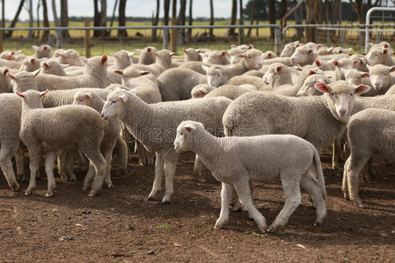 Flocks of young unshorn lambs seperated, in the sheep yards, from their parents, out the front of the shearing sheds waiting to be. Shorn, on a small family stock image