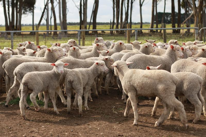 Flocks of young unshorn lambs seperated, in the sheep yards, from their parents, out the front of the shearing sheds waiting to be. Shorn, on a small family royalty free stock photography