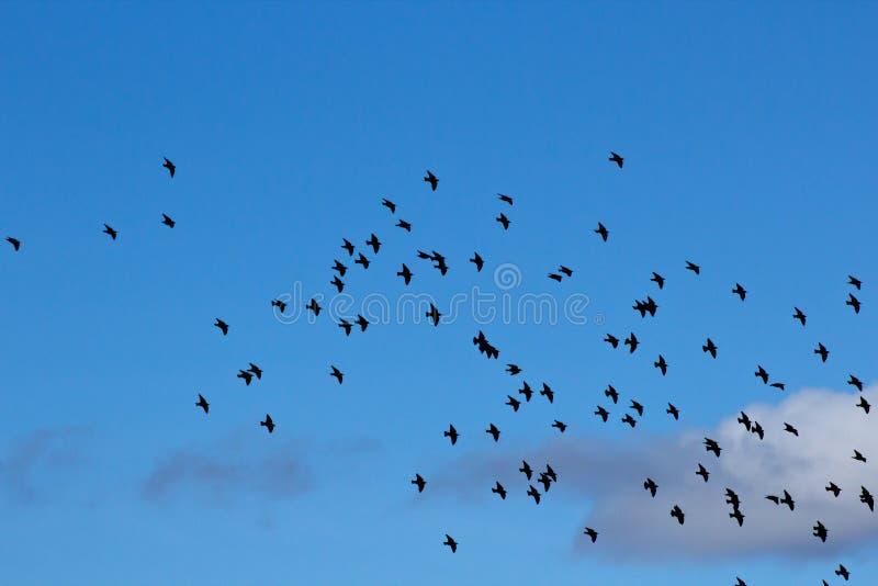 flockskystare arkivbild