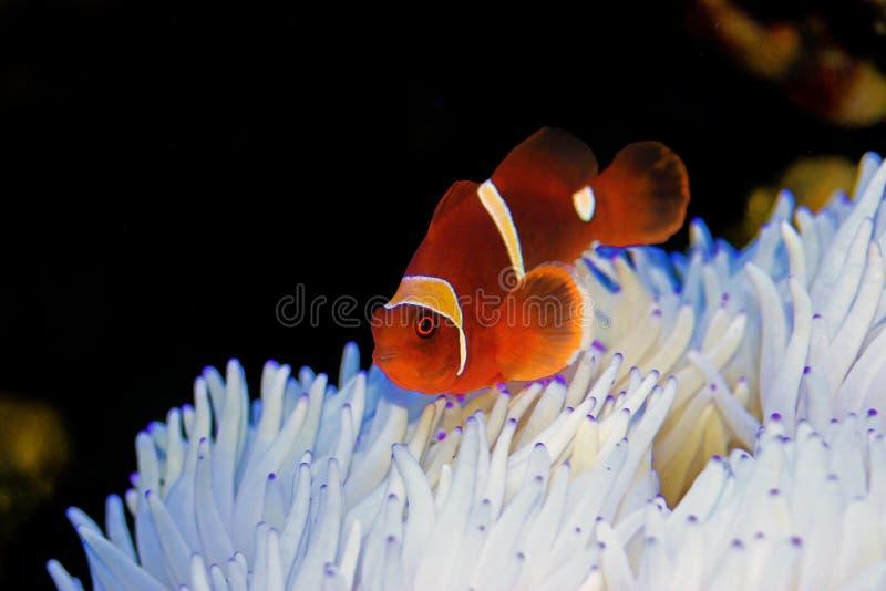 Floco Clownfish marrom do ouro na anêmona branca de Sabae imagem de stock