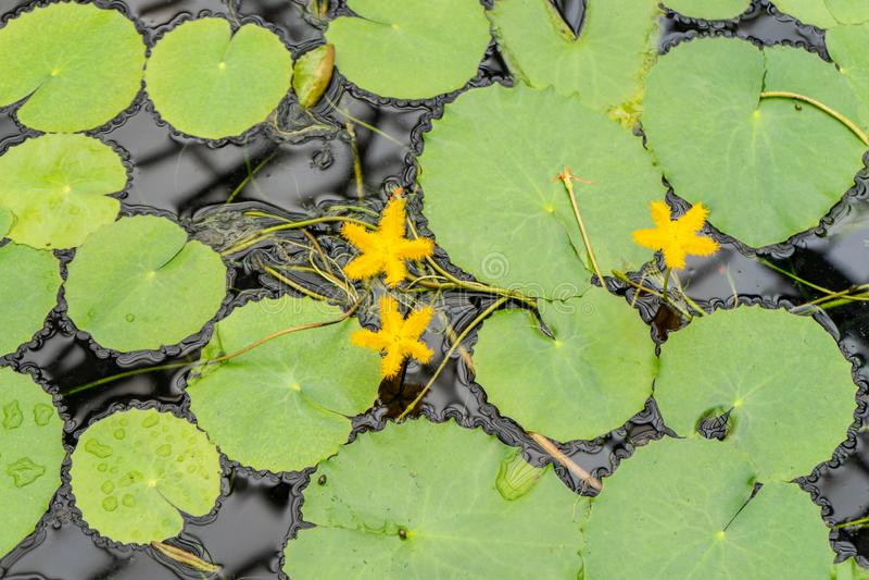 Flocon de neige jaune de l'eau, thunbergiana de Nymphoides Cette usine merveilleusement sensible produit beaucoup de fleurs jaune image libre de droits