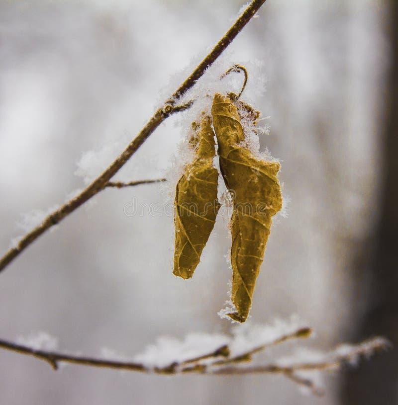 Flocons de neige pelucheux dessus sur les feuilles congelées de l'orme photo libre de droits