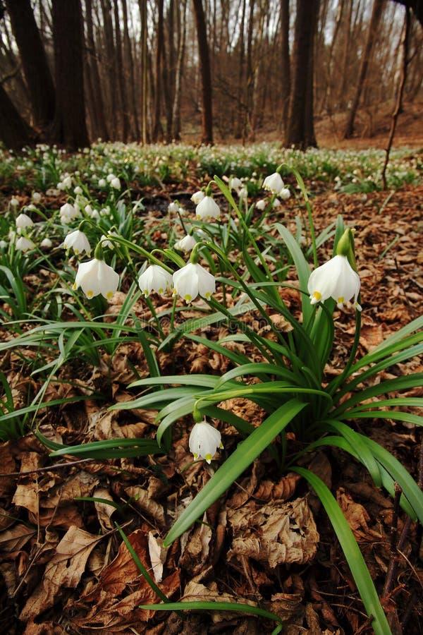 Flocos de neve na floresta da mola foto de stock