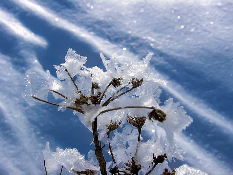 Flocos de neve secos da planta fotografia de stock