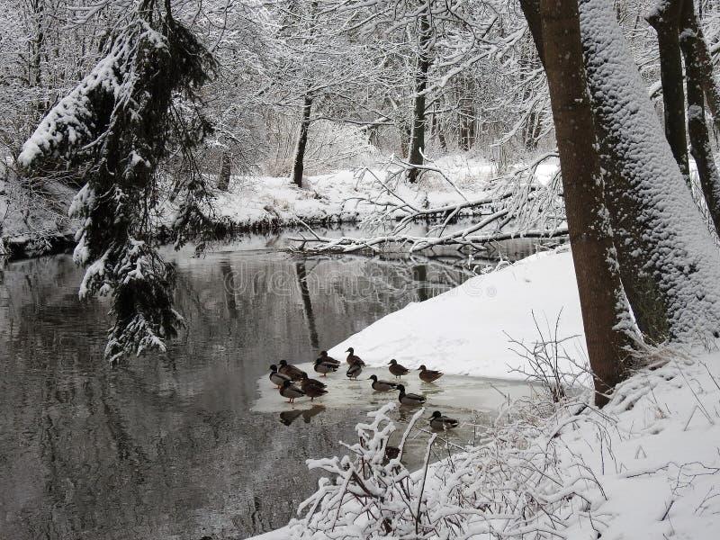 Flod, andfåglar och snöig träd, Litauen arkivbilder