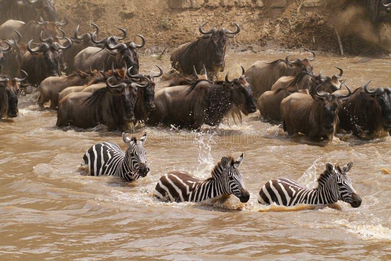 flod för crossingmara masai arkivbild