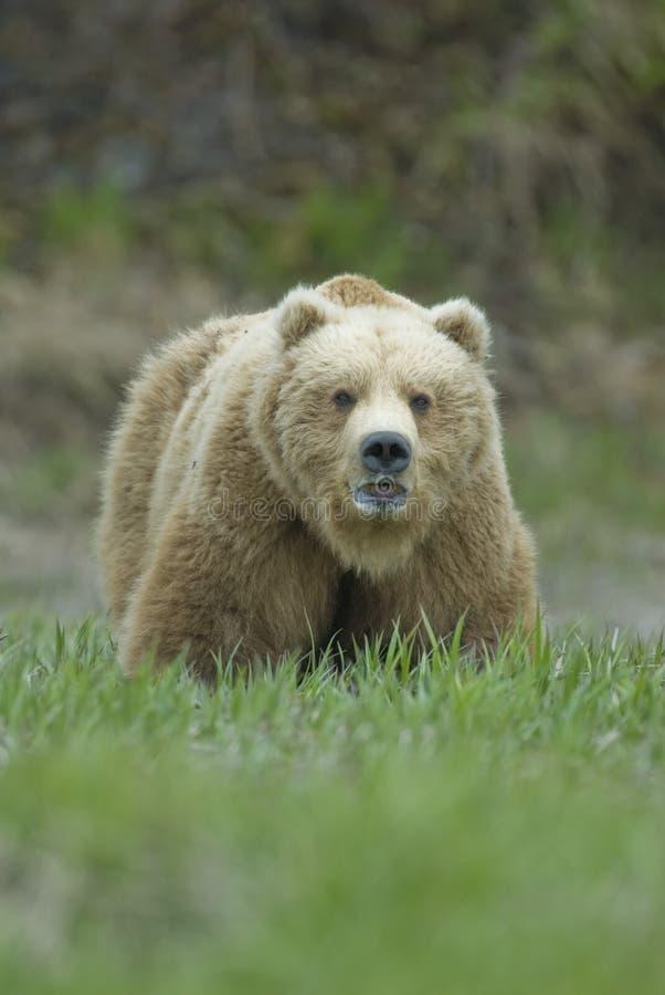 flod för mcneil för alaska björn som stor brun visar tänder royaltyfri bild
