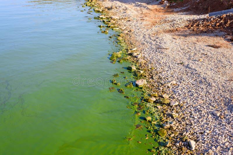 Flodbank som förorenas med blått-gräsplan alger, ekologi, miljö, fara royaltyfri foto