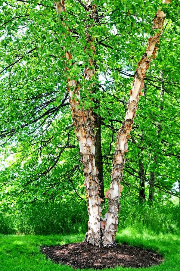 Flodbjörkträd royaltyfri bild