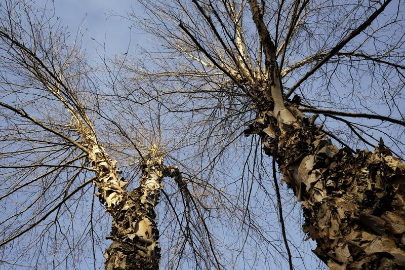 Flodbjörkträd mot himlen royaltyfria foton