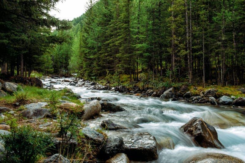 Floden för det steniga berget bland sörjer träd Härlig snabb-flödande flod i barrskogen den lösa naturen av Altai royaltyfria bilder