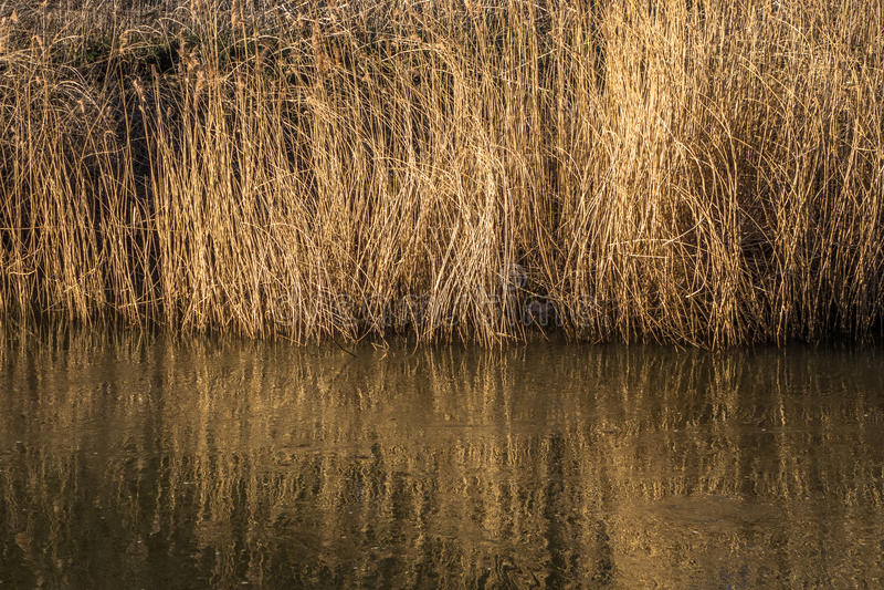 Flodgräs royaltyfri foto