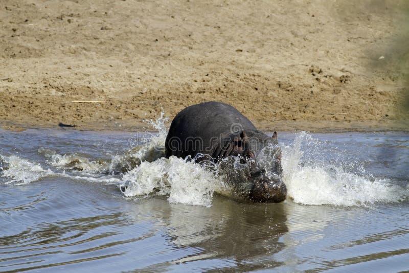 flodhäst fotografering för bildbyråer