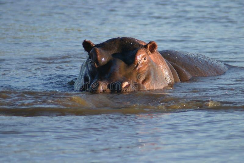 Download Flodhäst arkivfoto. Bild av djurliv, tranquility, angus - 287968