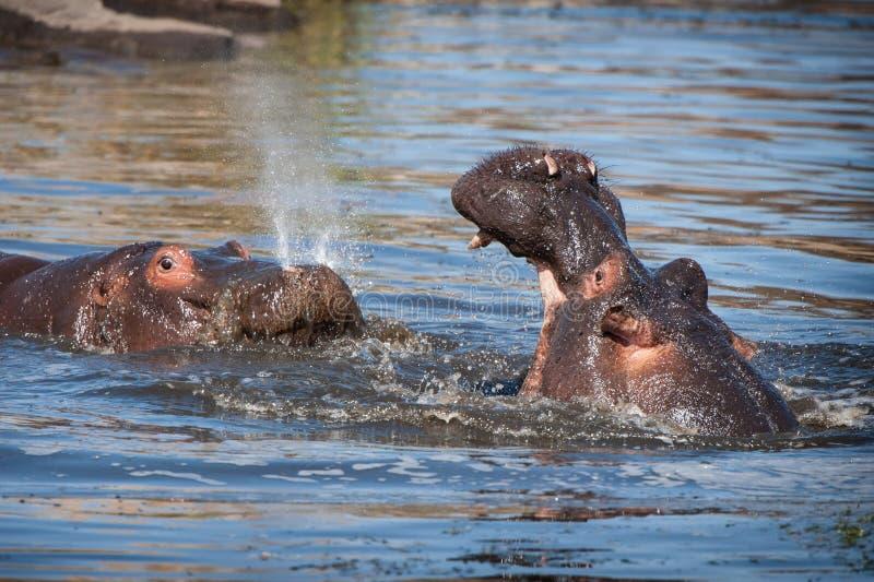 Flodhäst (flodhästamphibius) royaltyfria foton