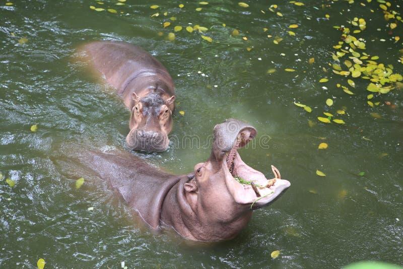 Flodhäst i bevattna arkivbild
