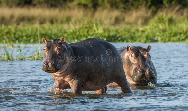 Flodhäst i bevattna Den gemensamma flodhästen (flodhästamphibiusen) royaltyfri bild
