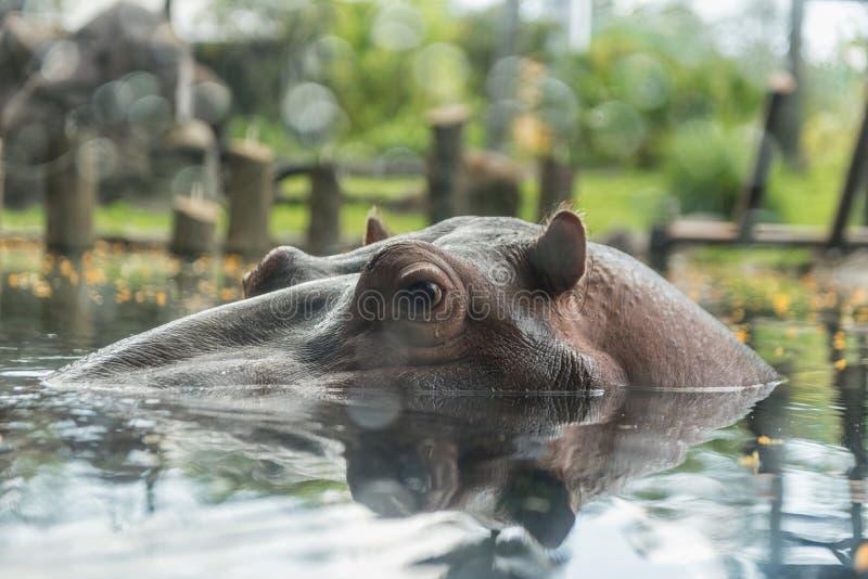 Flodhäst i Busch trädgårdar Tampa Bay Florida arkivfoto