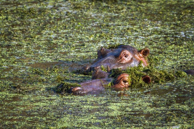 Flodhäst i den Kruger nationalparken arkivfoto