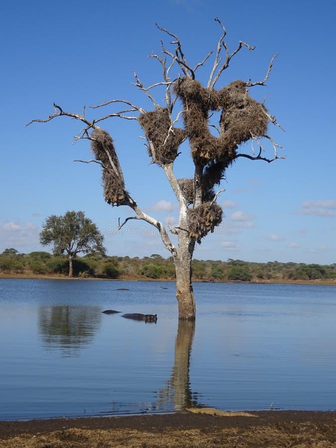 Flodhäst i floden och krokodil på den kustKruger nationalparken Sydafrika royaltyfria bilder