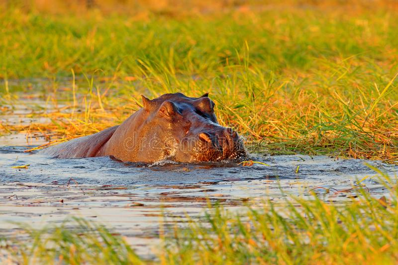 Flodhäst i flodvatten africa djurliv Afrikansk flodhäst, flodhästamphibiuscapensis, med aftonsolen, djur i natuen arkivbilder