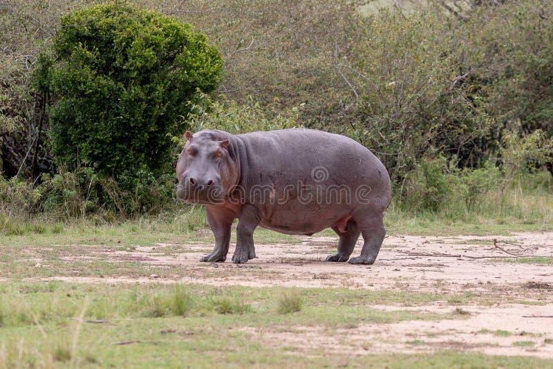 Flodhäst i Masai Mara, Kenya, Afrika fotografering för bildbyråer