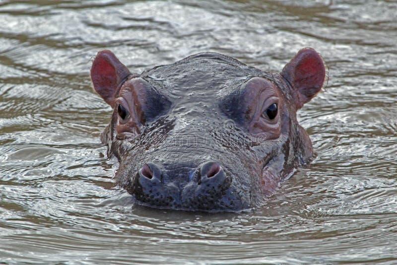 Flodh?st i vattnet, iSimangalisonationalpark, Sydafrika arkivbilder