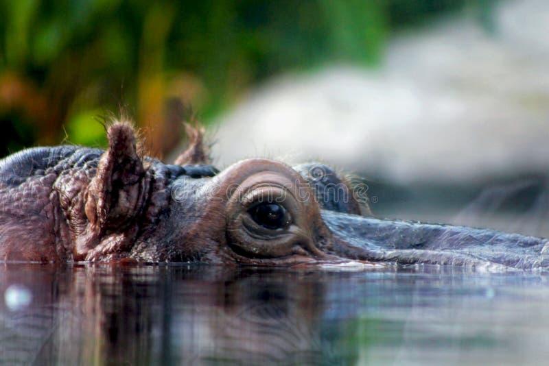 Flodhäst i vattnet, vad är dig som ser arkivfoto