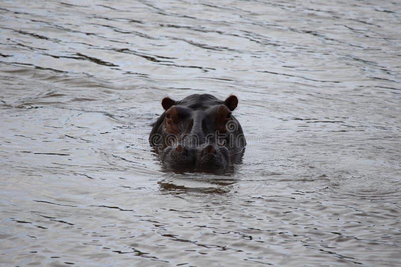 Flodhäst i Zimbabwe, Hwange nationalpark flodhäst arkivfoton