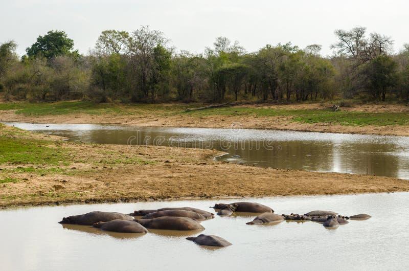 Flodhäst Kruger nationalpark africa near berömda kanonkopberg den pittoreska södra fjädervingården royaltyfri fotografi